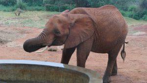 Mbirikani beim Saufen (c) Sheldrick Wildlife Trust