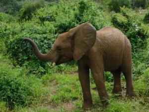 Mteto (c) Sheldrick Wildlife Trust