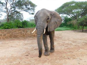 Murera macht sich auf den Weg in den Busch (c) Sheldrick Wildlife Trust