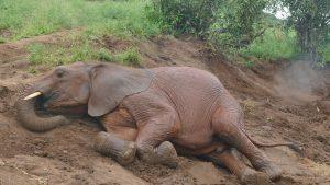 Murit wälzt sich im Graben (c) Sheldrick Wildlife Trust