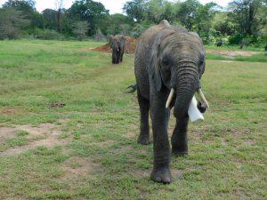 Mwashoti unterwegs mit Milchflasche (c) Sheldrick Wildlife Trust