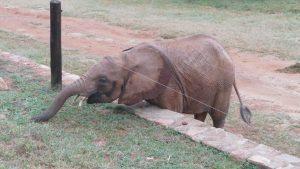 Ndotto manövriert sich unter dem E-Zaun hindurch, um an noch mehr frisches Gras zu gelangen (c) Sheldrick Wildlife Trust