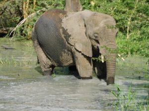 Ngasha im Wasserloch (c) Sheldrick Wildlife Trust