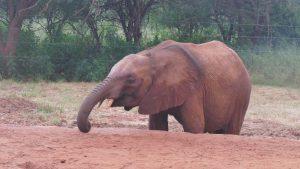 Ngilai frißt noch ein paar Pellets (c) Sheldrick Wildlife Trust
