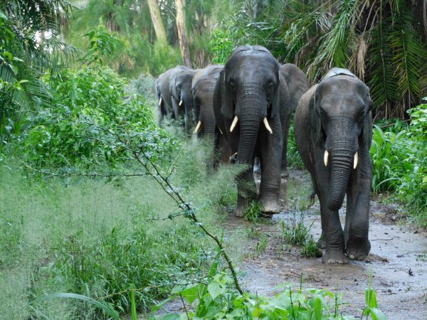 Die Waisen auf dem Heimweg durch dichtes Gebüsch (c) Sheldrick Wildlife Trust