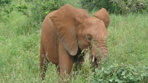 Pika Pika (c) Sheldrick Wildlife Trust