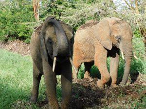 Quanza kratzt sich am Kopf während Ziwa sich ihr nähert (c) Sheldrick Wildlife Trust