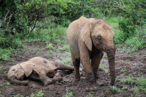Roho und Larro (c) Sheldrick Wildlife Trust