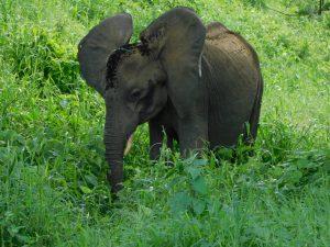 Shukuru genießt das frische Gras (c) Sheldrick Wildlife Trust