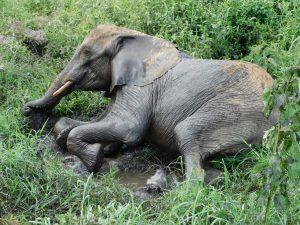 Shukuru beim Abkühlen (c) Sheldrick Wildlife Trust