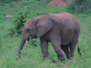 Wanjala (c) Sheldrick Wildlife Trust