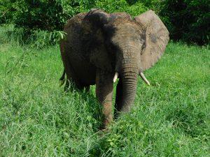 Ziwa bewirft sich mit Dreck (c) Sheldrick Wildlife Trust