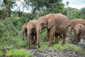 V.l.n.r.: Ziwadi, Kiasa, Tagwa und Kiombo (c) Sheldrick Wildlife Trust