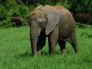 Zongoloni genießt das frische Gras (c) Sheldrick Wildlife Trust