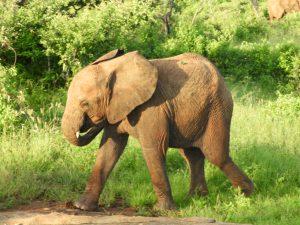 Esampu (c) Sheldrick Wildlife Trust