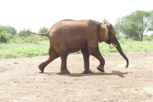 Makena (c) Sheldrick Wildlife Trust