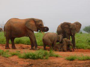 V.l.n.r.: Nasalot mit ihrem Nachwuchs Nusu, Siku (Mutter: Sunyei) und Mwende (Mutter: Mulika) (c) Sheldrick Wildlife Trust