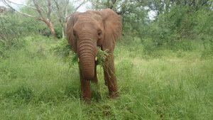 Sana Sana beim Fressen (c) Sheldrick Wildlife Trust