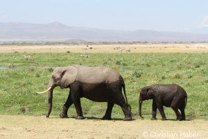 Elefantenkuh und Kalb am Rand eines Sumpfes.
