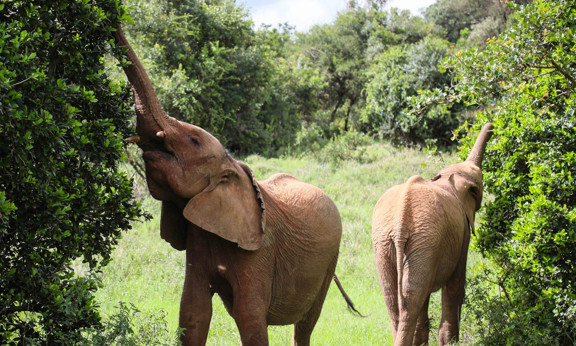 Dololo und Ziwadi (c) Sheldrick Wildlife Trust