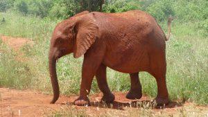 Emoli nach dem Suhlen. (c) Sheldrick Wildlife Trust