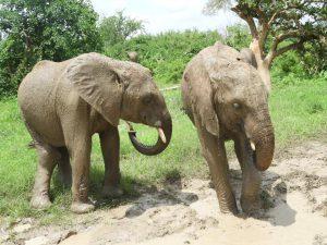 Enkikwe und Maramoja. (c) Sheldrick Wildlife Trust