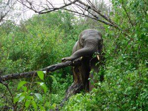 Faraja im Regen. (c) Sheldrick Wildlife Trust