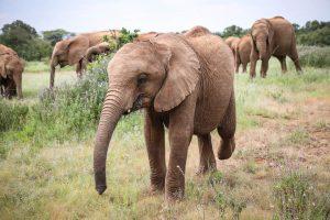 Kaisa (c) Sheldrick Wildlife Trust