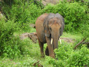 Kauro (c) Sheldrick Wildlife Trust