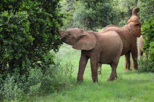 Maktao und Tamiyoi (c) Sheldrick Wildlife Trust