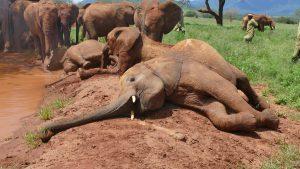Mbegu (vorn) (c) Sheldrick Wildlife Trust