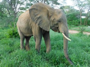 Murera beim Grasen (c) Sheldrick Wildlife Trust