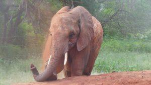 Murit (c) Sheldrick Wildlife Trust