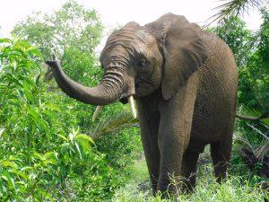 Mwashoti hat einen neuen Freßplatz gefunden, wo er gleichzeitig Gras und frische Zweige fressen kann. (c) Sheldrick Wildlife Trust