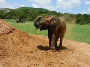 Mwashoti bewirft sich mit Dreck (c) Sheldrick Wildlife Trust