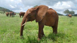 Naipoki (c) Sheldrick Wildlife Trust