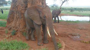 Nelion beim Schubbern. (c) Sheldrick Wildlife Trust