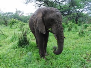Ngasha kommt am Morgen ins Stallgelände, nachdem er eine Nacht im Busch verbracht hat. (c) Sheldrick Wildlife Trust