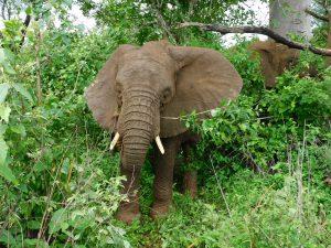 Ngasha führt die jungen Bullen nach Hause. (c) Sheldrick Wildlife Trust
