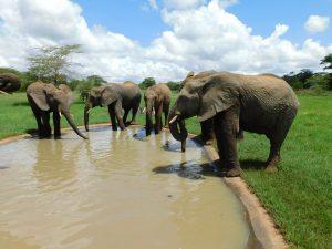 Die Waisen beim Saufen. (c) Sheldrick Wildlife Trust