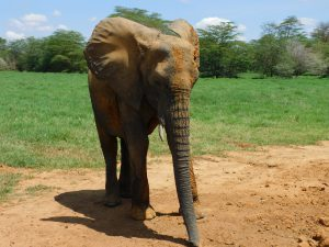 Shukuru (c) Sheldrick Wildlife Trust
