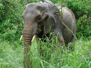 Shukuru beim Durchstreifen der Kenze-Berge. (c) Sheldrick Wildlife Trust