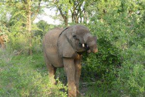 Lemoyian (c) Sheldrick Wildlife Trust