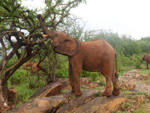 Malkia (c) Sheldrick Wildlife Trust