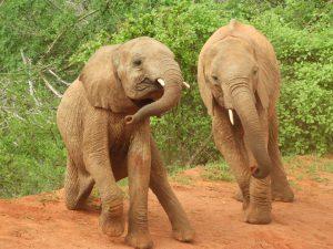 Mteto und Ndiwa (c) Sheldrick Wildlife Trust