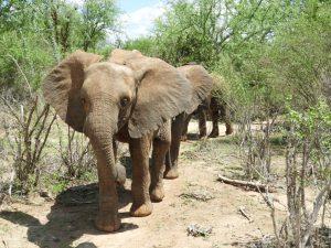 Naseku als Anführerin (c) Sheldrick Wildlife Trust