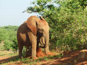 Sana Sana (c) Sheldrick Wildlife Trust