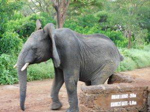 Alamaya schubbert sich genüßlich am Wegweiser (c) Sheldrick Wildlife Trust