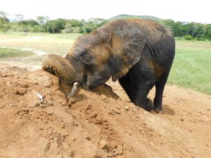 Jasiri spielt nach dem Suhlen im Dreck (c) Sheldrick Wildlife Trust