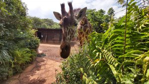 Kiko (c) Sheldrick Wildlife Trust